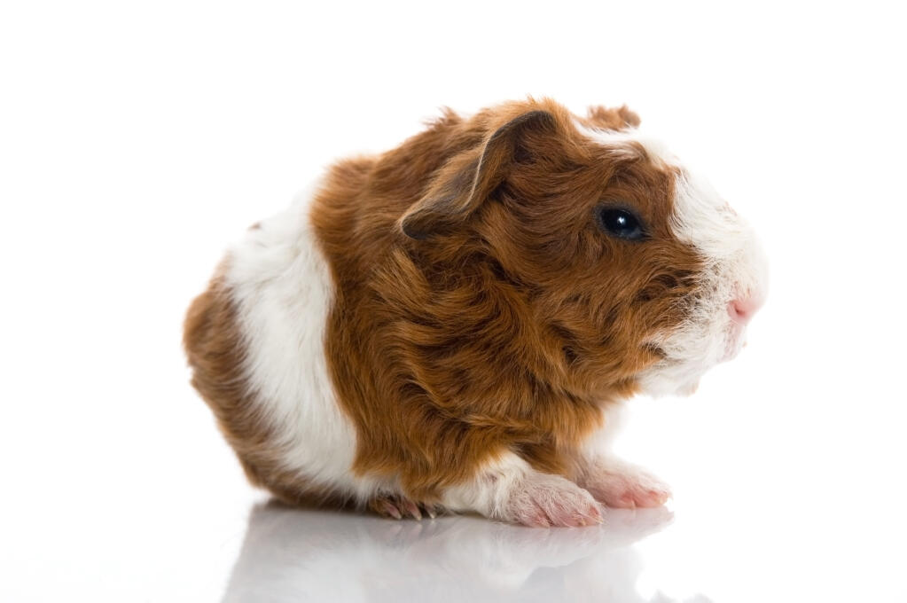 Texel For Sale Guinea Pigs Breed Information Omlet
