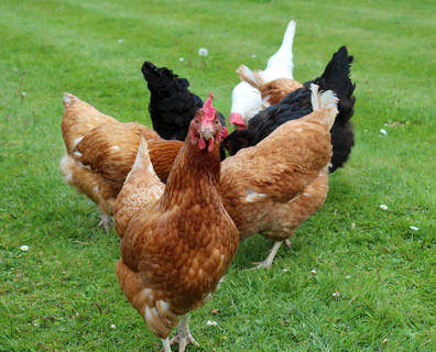 Someof our rescued ex batts and free range commercial girls
