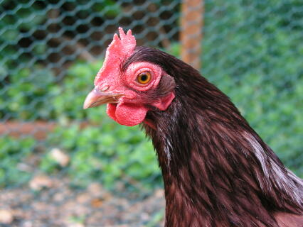Our Rhode Island Red