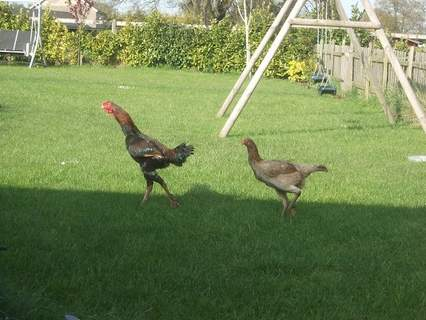 Cock and hen (Black-red)