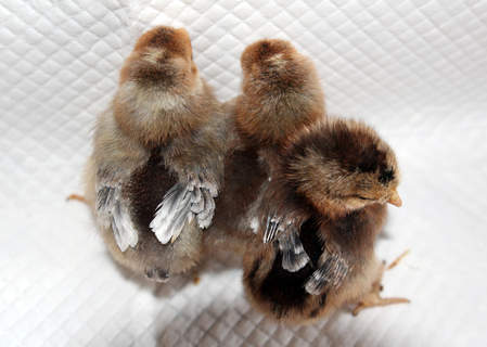 Cream legbar chicks ~ 2 boys and 1 girl at 6 days old