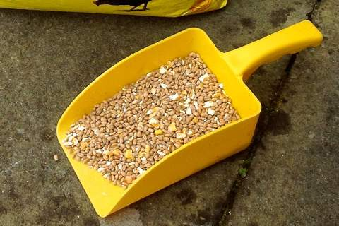 A yellow feed scoop for yellow corn!