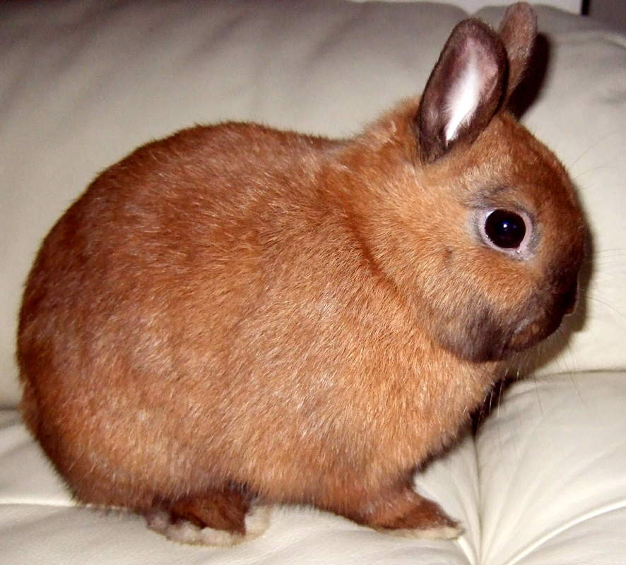 Netherland Dwarf For Sale