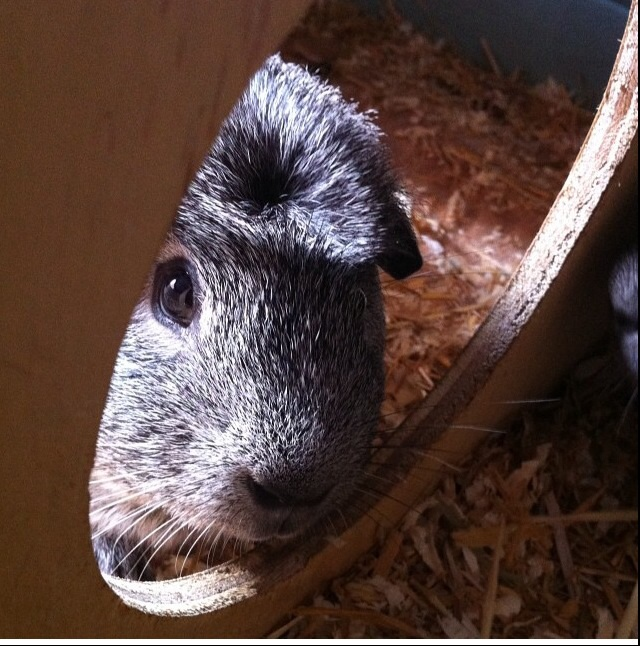 Crested For Sale Guinea Pigs Breed Information Omlet