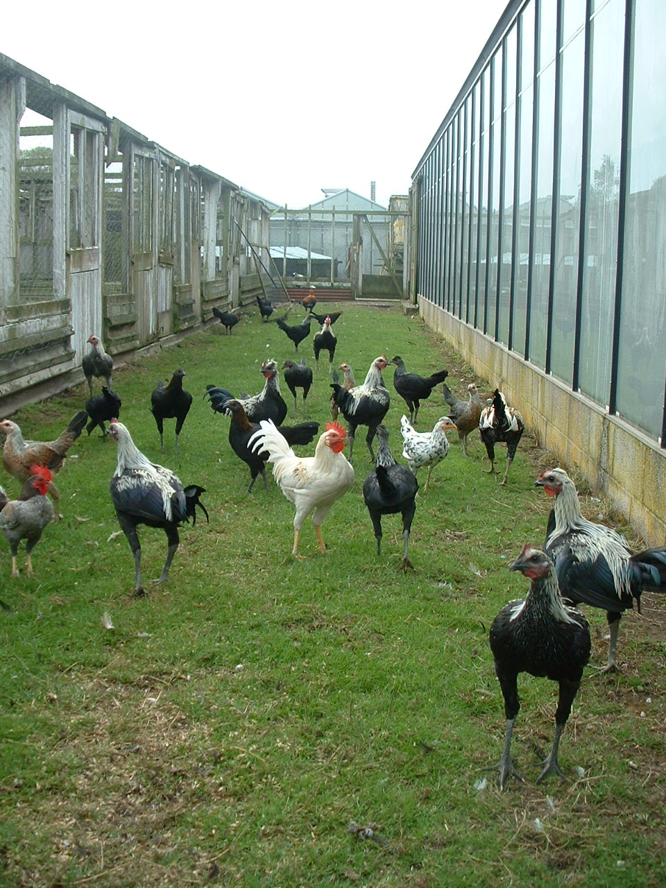 Old English Game For Sale Chickens Breed Information