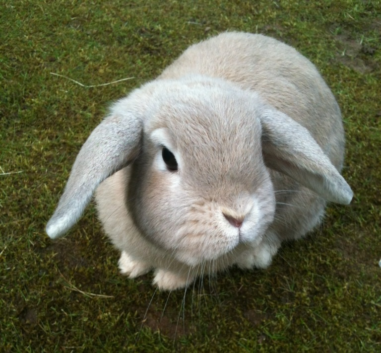 dwarf lop for sale rabbits breed information omlet. Black Bedroom Furniture Sets. Home Design Ideas