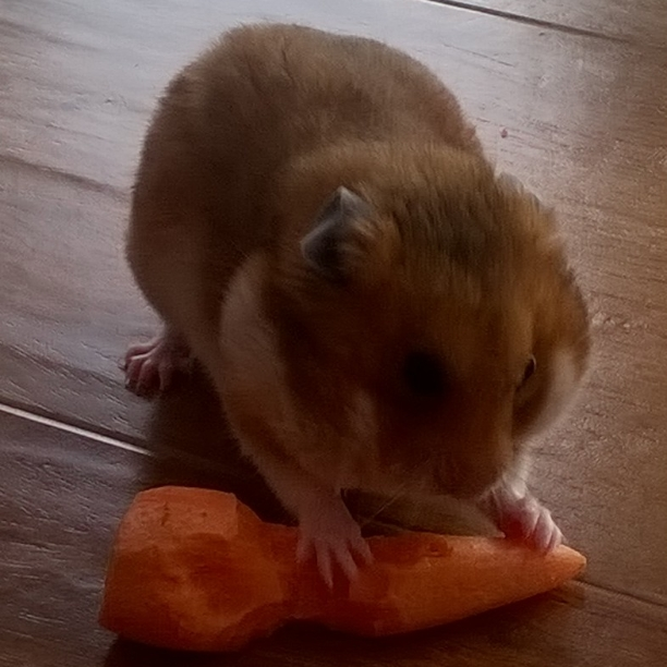 Breeds | About Hamsters | Hamsters | Guide | Omlet UK