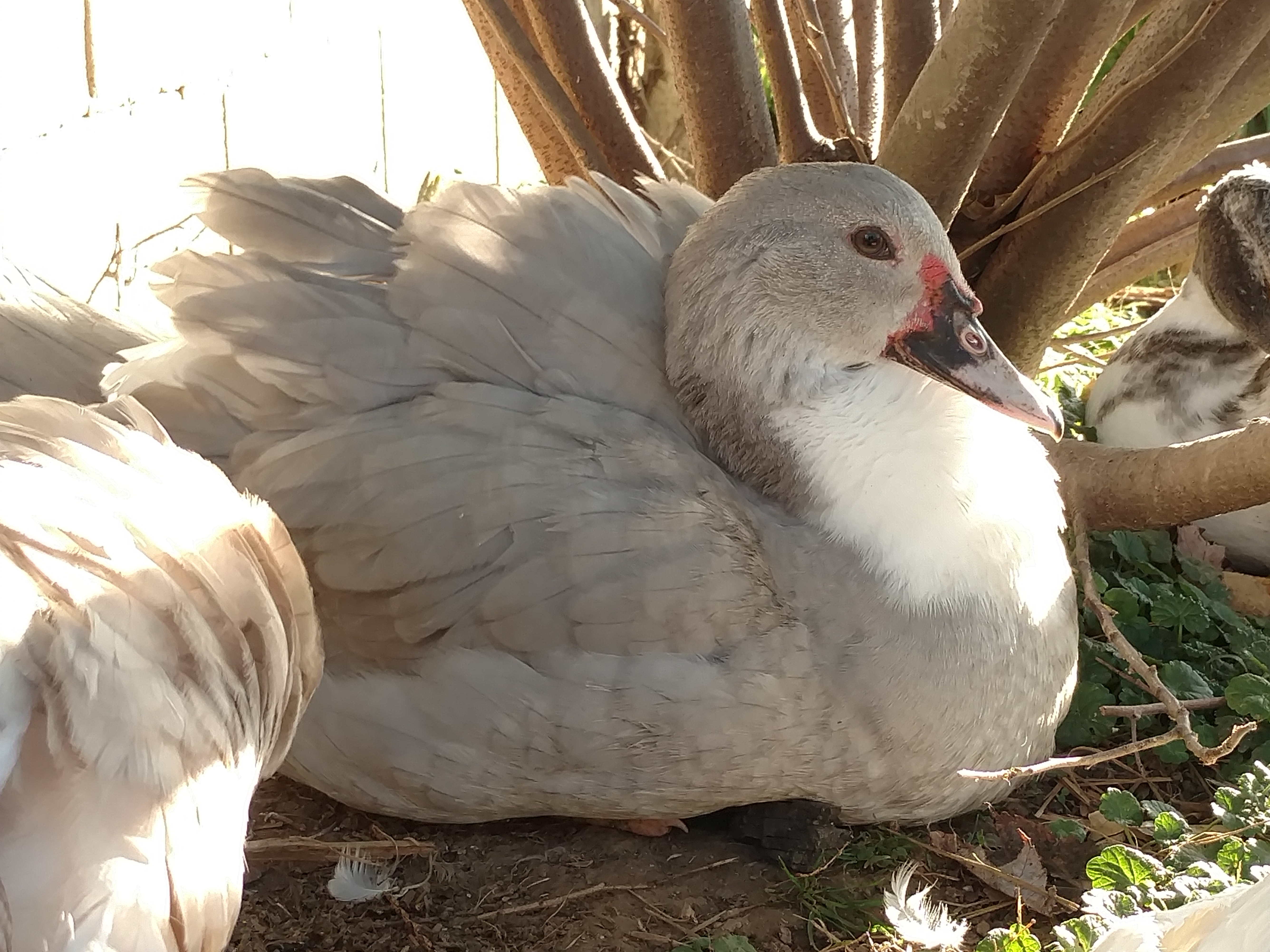Muscovy For Sale | Ducks | Breed Information | Omlet