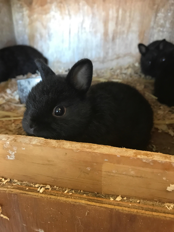Netherland Dwarf For Sale Rabbits Breed Information
