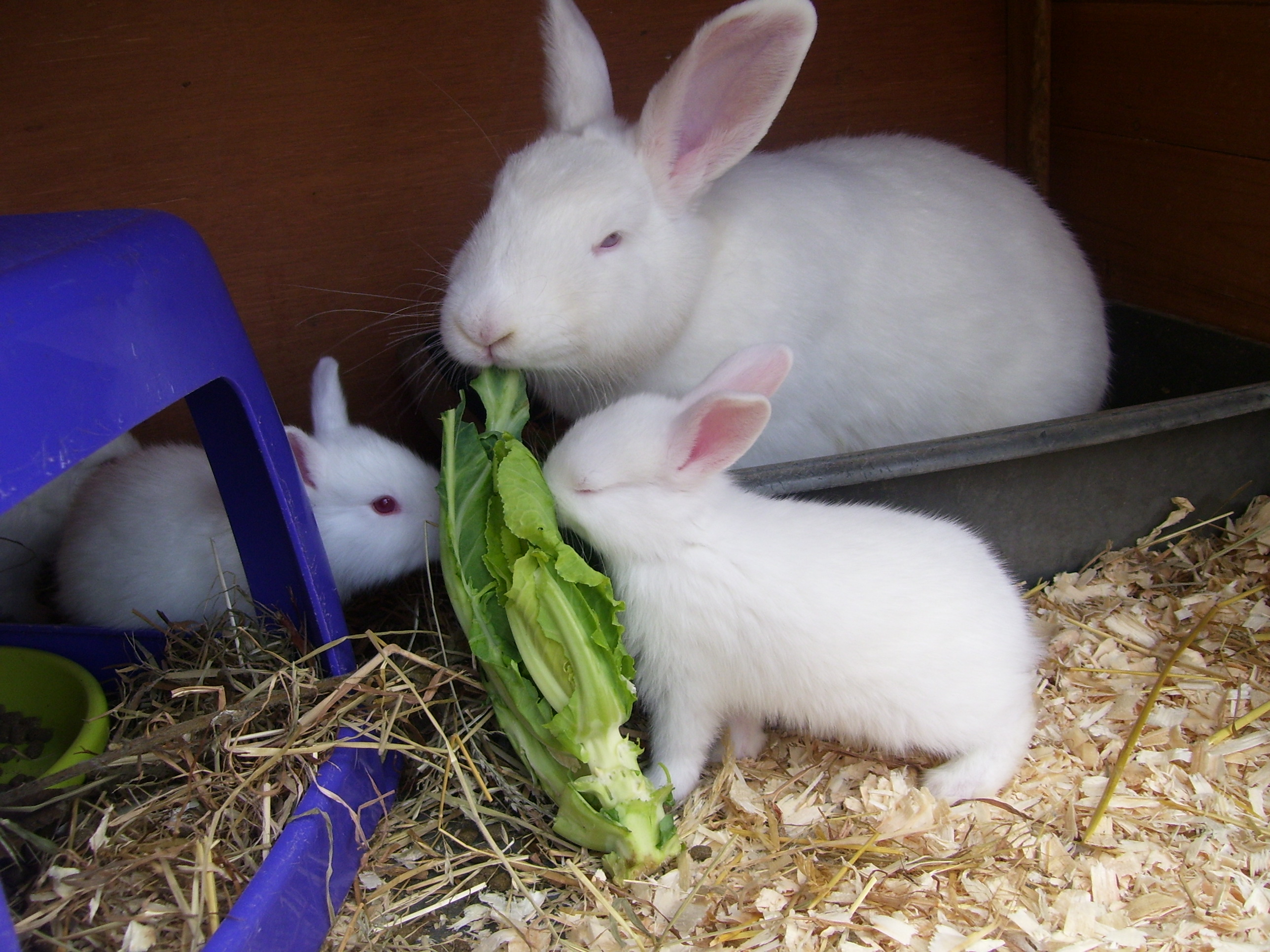 New Zealand For Sale Rabbits Breed Information Omlet