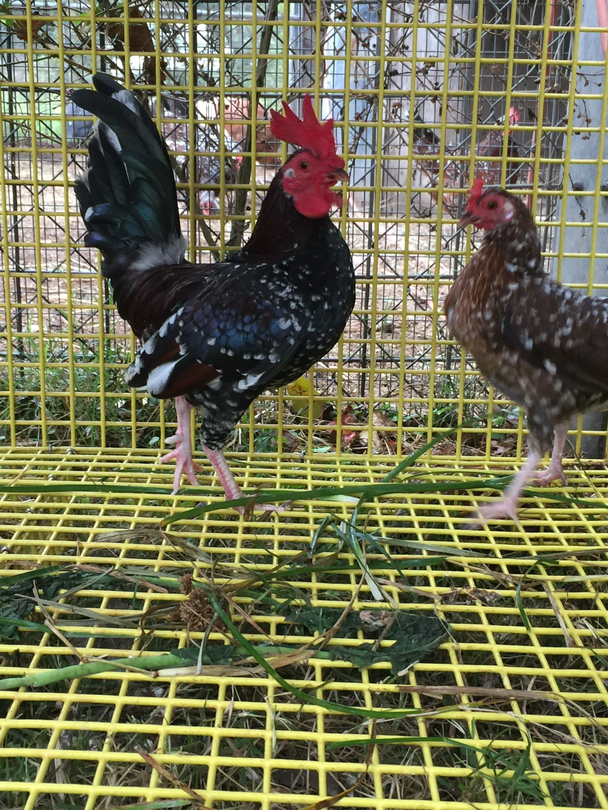 old english game for sale chickens breed information omlet
